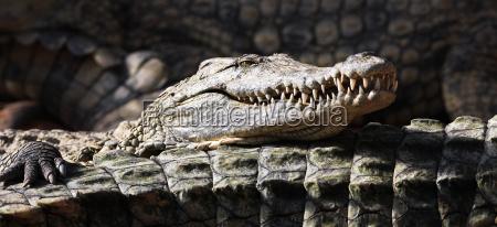 panorama krokodil