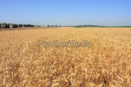 horizontal oriented image of wheat field