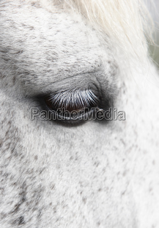 detail pferd ross tier auge oculus