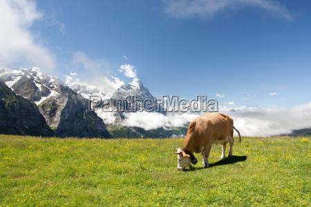 weidende kuh in alpen