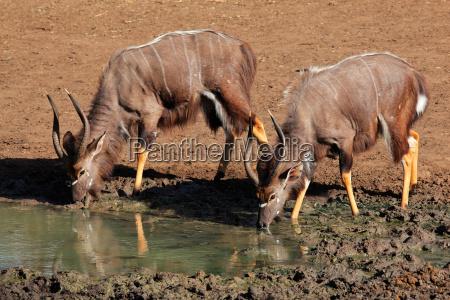 nyala antilopen trinken
