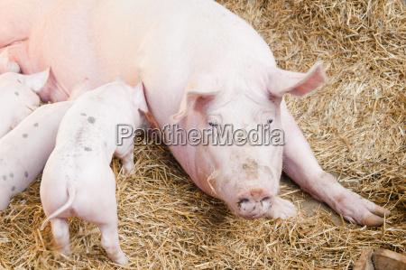 schweinefutter kleine rosa schweine
