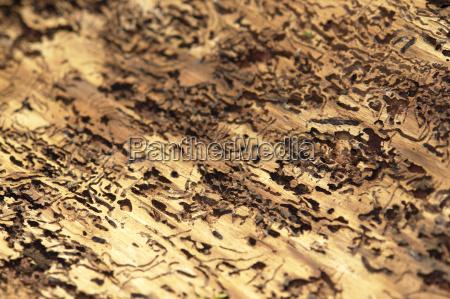 bark beetle traces