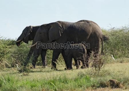 some elephants in uganda