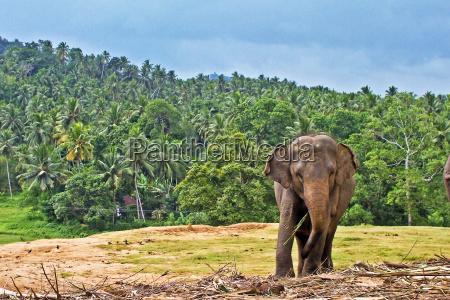 elefant im pinnawela elephant orphanage in