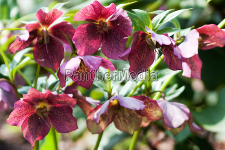 christrose helleborus niger