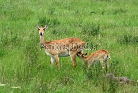 uganda kobs in green grassland