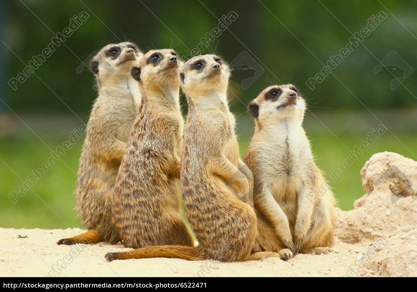 schöne, gruppe, von, erdmännchen, (suricata), sitzen - 6522471