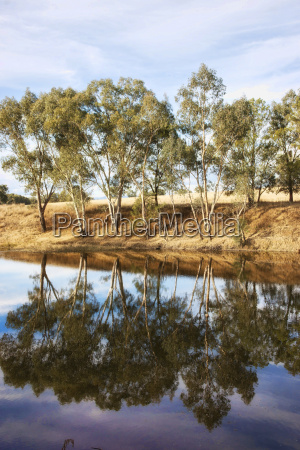 river gum trees reflecting in river