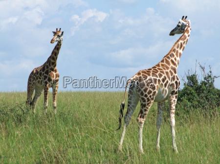 sunny scenery with giraffes in uganda