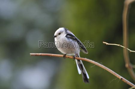 schwanzmeise meise vogel beobachten singvogel zierlich