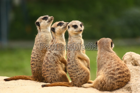 lovely group of meerkats