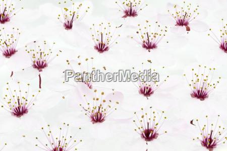 blueten der blutpflaume prunus cerasifera nigra