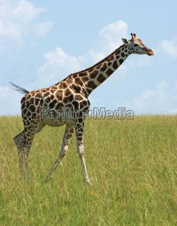 giraffe in uganda