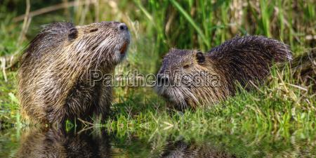 tail beaver myocastor coypus
