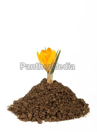 kleine pflanze krokus wachsenden haufen von