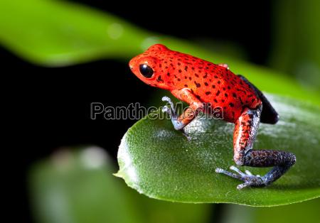 red pfeilgiftfrosch