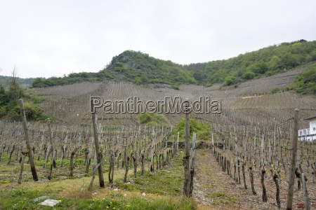 vineyard in the vulkan eifel