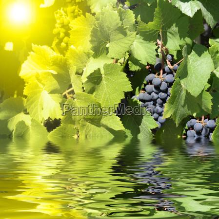 blaue weintrauben und gruene blaetter