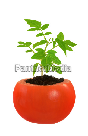 young tomato plant growing evolution concept
