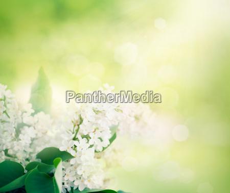 whitelilac flowers in the garden