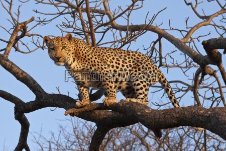 leopard panthera pardus klettert im baum