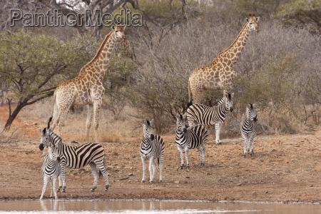 kapgiraffe g c giraffa und zebras