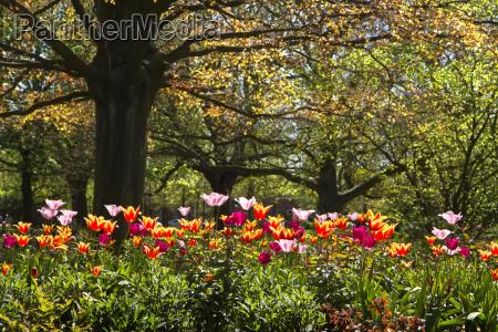 bunte tulpen und alte rote blatt