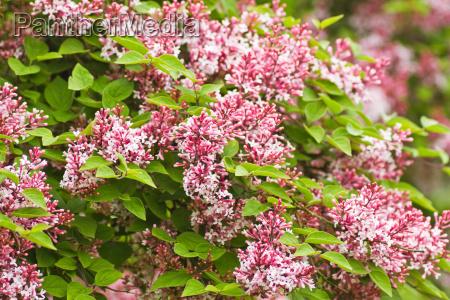 tiny duftenden rosa syringa microphylla blumen