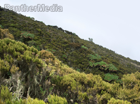 vegetation in the virunga mountains