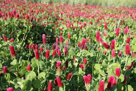 trifolium incarnatum also blood clover and