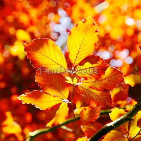 vivid orange blaetter im herbst