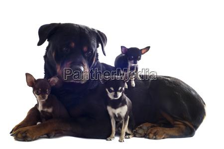 rottweiler und drei chihuahuas