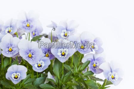 mehrere hornveilchen viola cornuta auf weissem