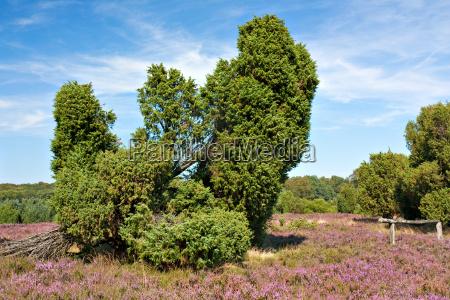 lueneburg heath heidelandschaft with juniper