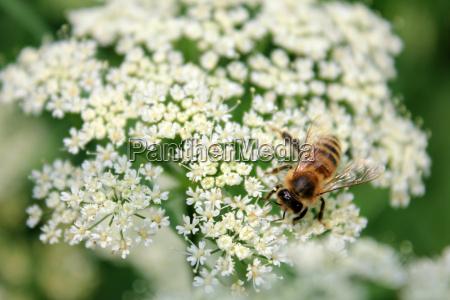 honeybee on a yarrow