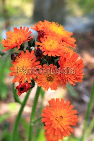 orange red hawkweed