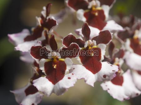 tolumnia oncidium brown white orchid flower