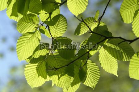 sunny illuminated spring leaves