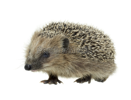 young hedgehog in white back