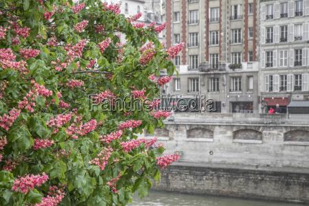 bluehender kastanienbaum vor haeuserfassade in paris