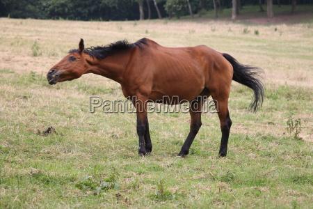 ein sich schuettelndes pferd