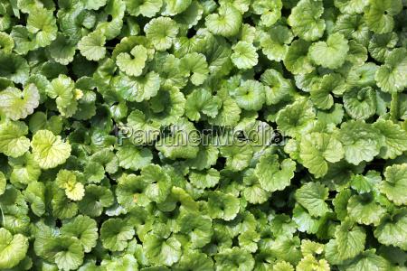 gundermann or ivy