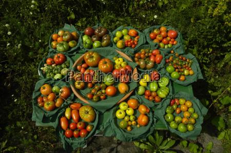 artenvielfalt tomaten tomate paradeiser