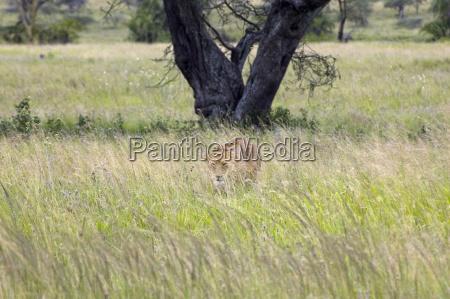 afrika jaeger raubtier safari versteckt loewin