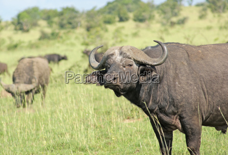 african buffalos in the savannah