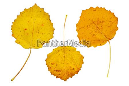 gelbe blaetter der zitterpappel