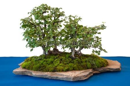 ulmen als bonsai wald auf einem