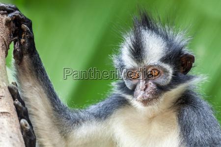 thomas039s leaf monkey