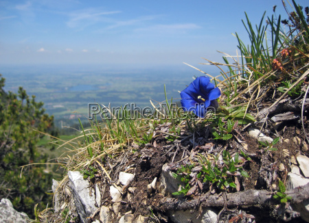 mountains waters alps bavaria gentian